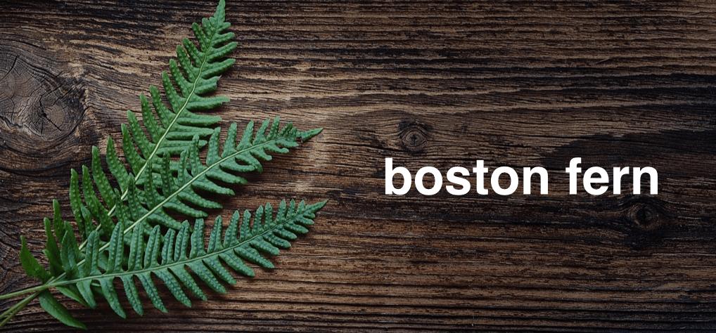 boston-fern-3